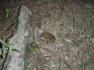 cane toads...