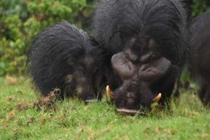 mum and baby giant forest hog complete the little family