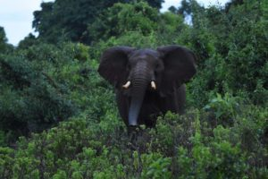 this gorgeous elephant is a little wary of us when we stumble upon him coming out of the bush unexpectedly