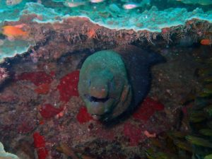 one of many giant morays we saw on our dives