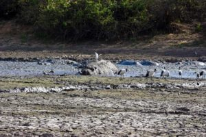 as the waterholes dry up, the hippos don't have much water to cover and protect themselves with