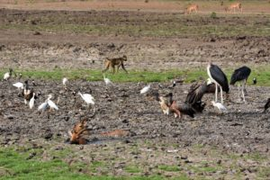 life and death go hand-in-hand - impalas stuck in the mud provide food for the many predators around