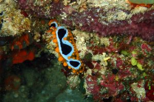 an ocellated Phylidia, another nudibranch, they are so colourful and so diverse