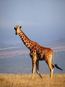 beautiful reticulated giraffe at sunset in the Lewa Conservancy