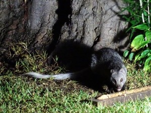 The white-tailed mongoose is the largest mongoose. It is a solitary animal and mostly nocturnal.