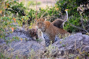 leopard with 2 cubs in the Naibosho conservancy