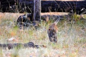 playful leopard cub