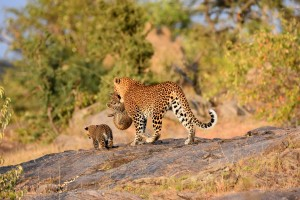 leopard carrying one of her cubs