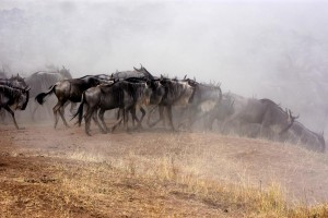 wildebeest crossing the Mara River in a huge dust cloud