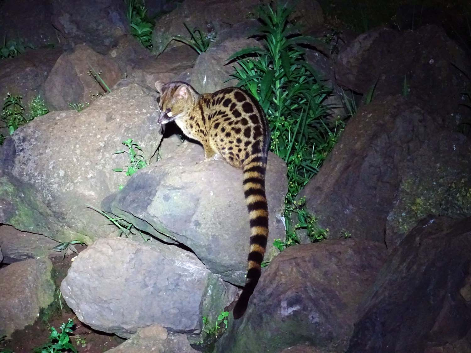 gorgeous large spotted (blotched) genet