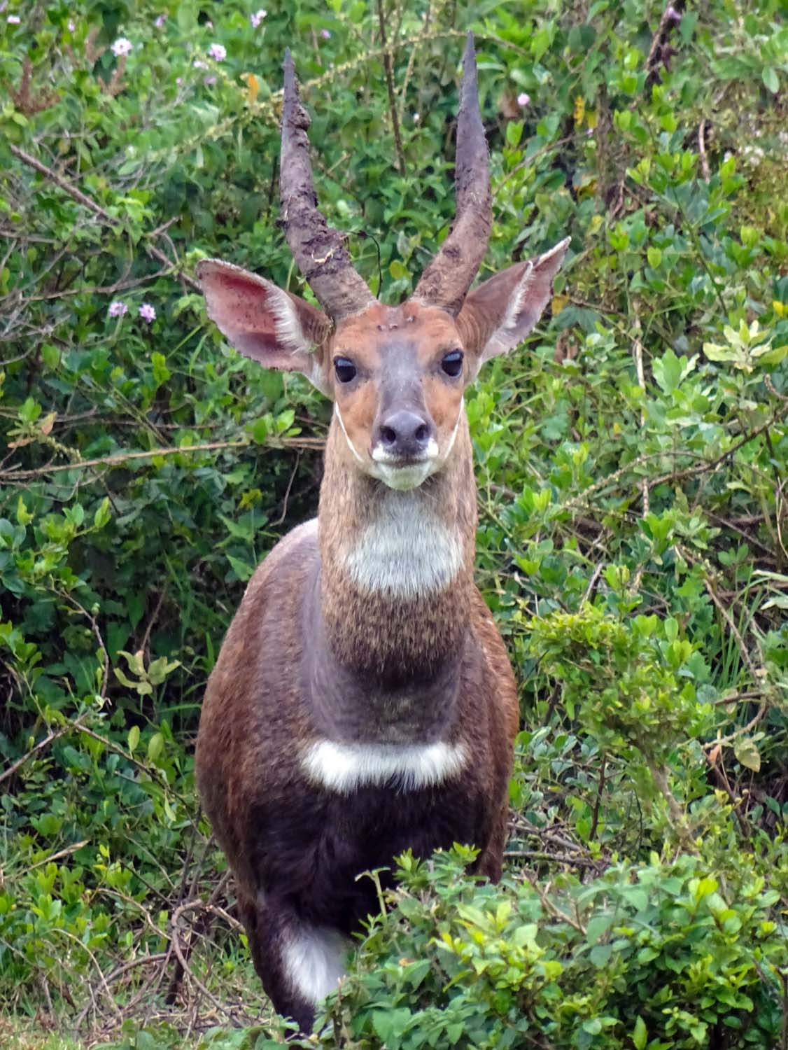 beautiful bushbuck