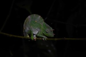 a very grumpy looking male Usambara giant 3-horned chameleon, maybe because we woke him up?