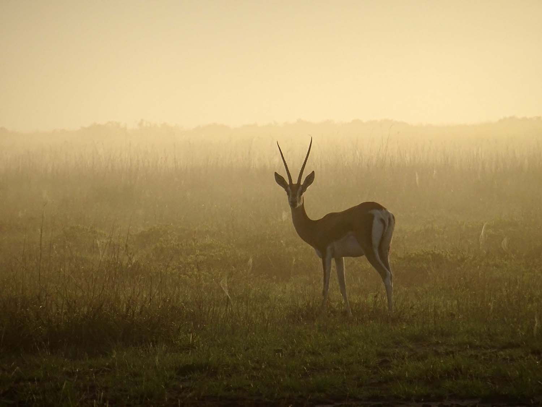 grant's gazelle in the mist (Amboseli)