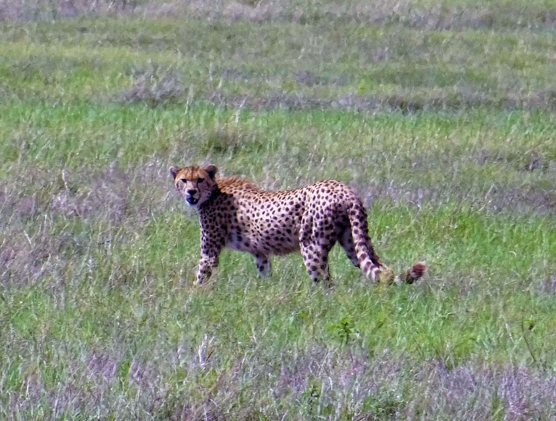 cheetah on the plains of Amboseli NP