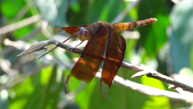 beautiful dragonfly in Angkor Wat