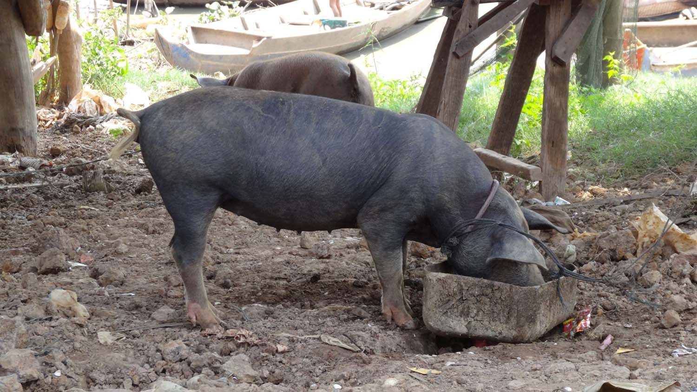 piggy at a home
