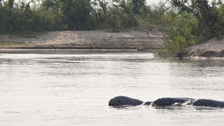 river dolphins near Kratie