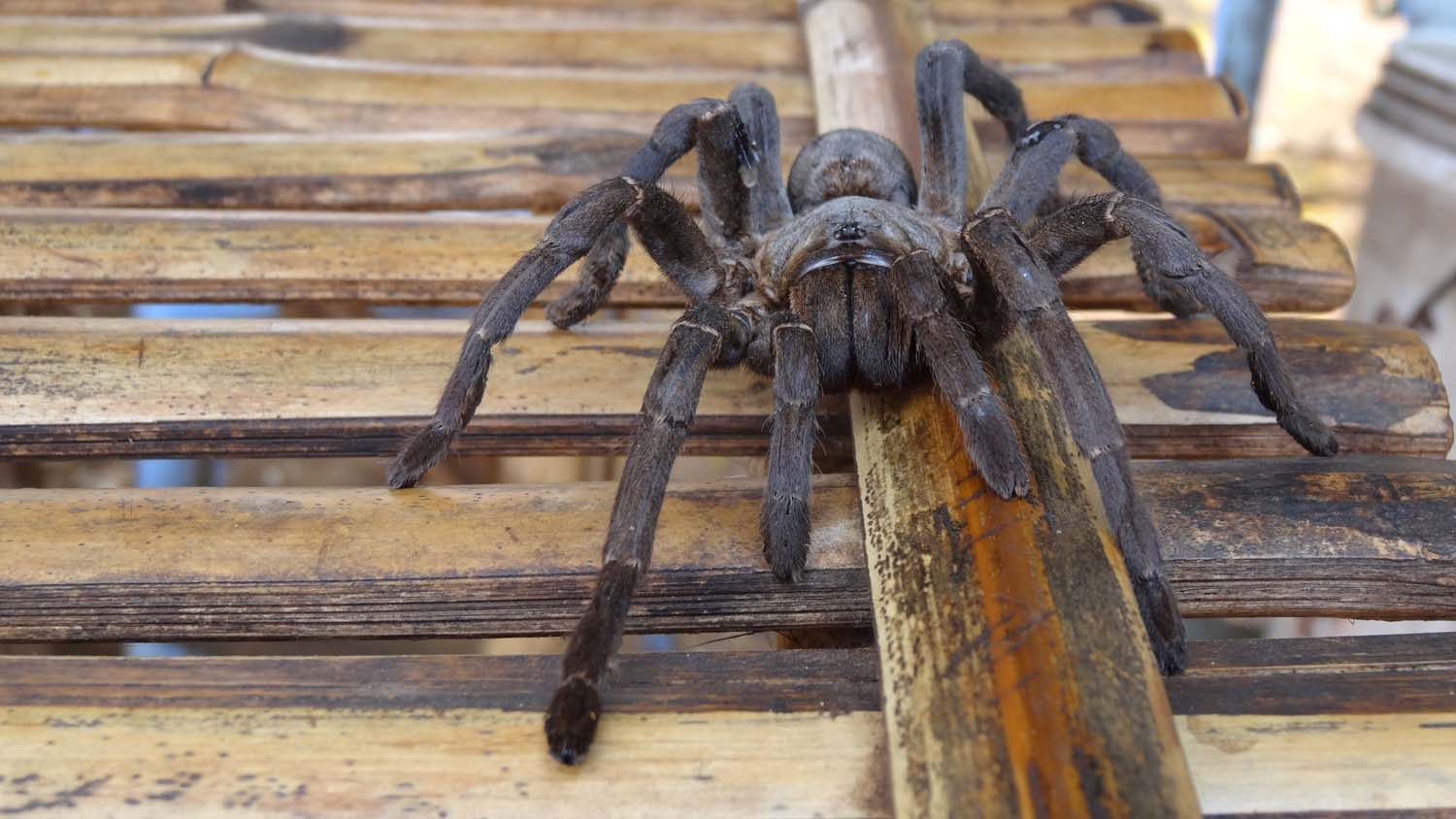 hairy spider, we ate his cousin