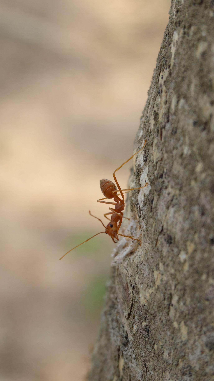 red ants bite, also in Cambodia!