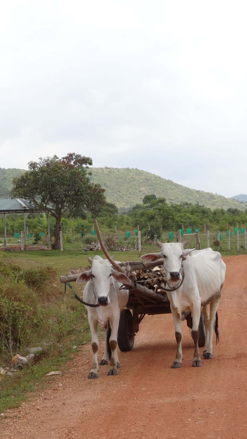 pair of oxen pulling a cart