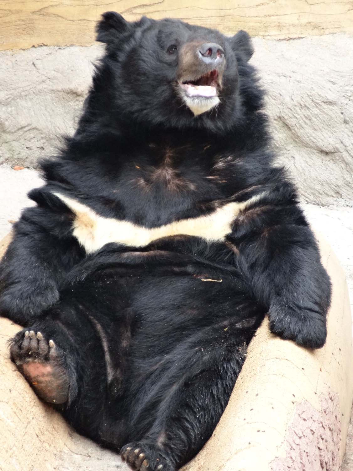 sun bear, I won't get into its living environment here...