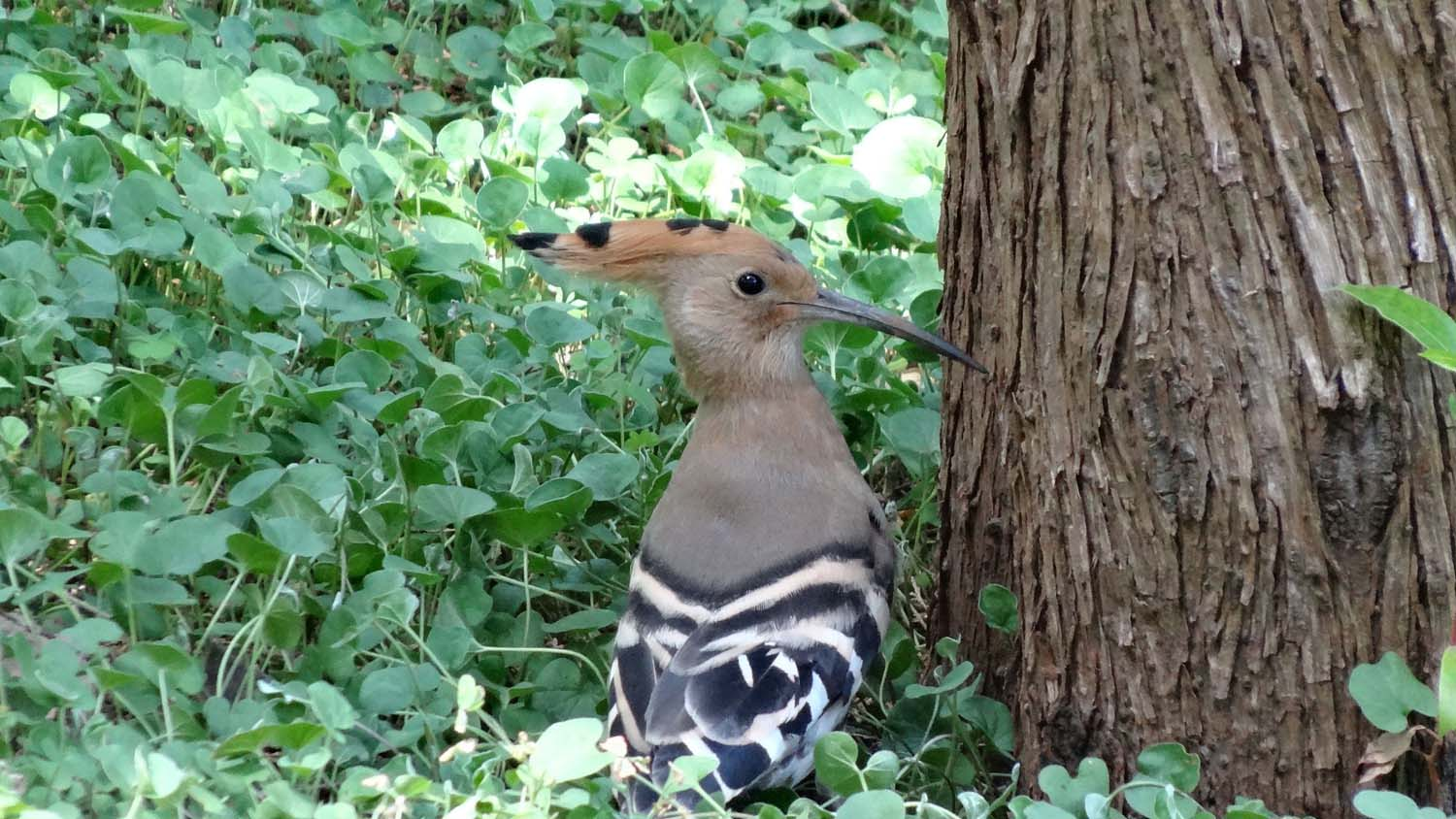common hoopoe, I like his funky headdress