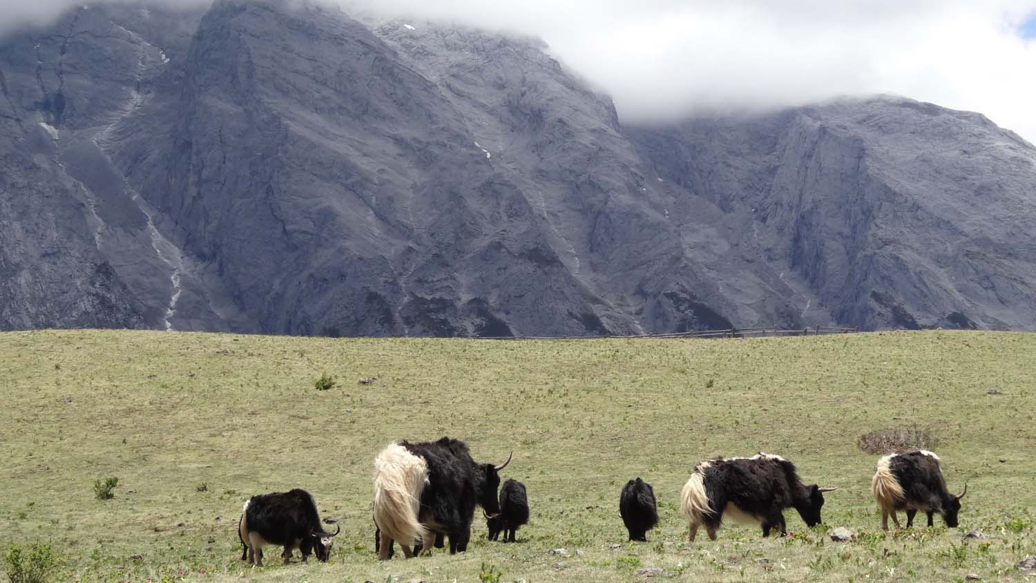 yaks in the Yak Meadow