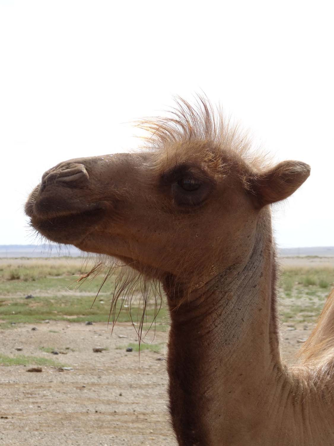 camel in the Gobi