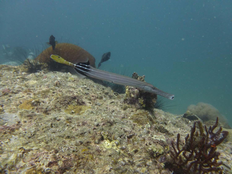 trumpet fish
