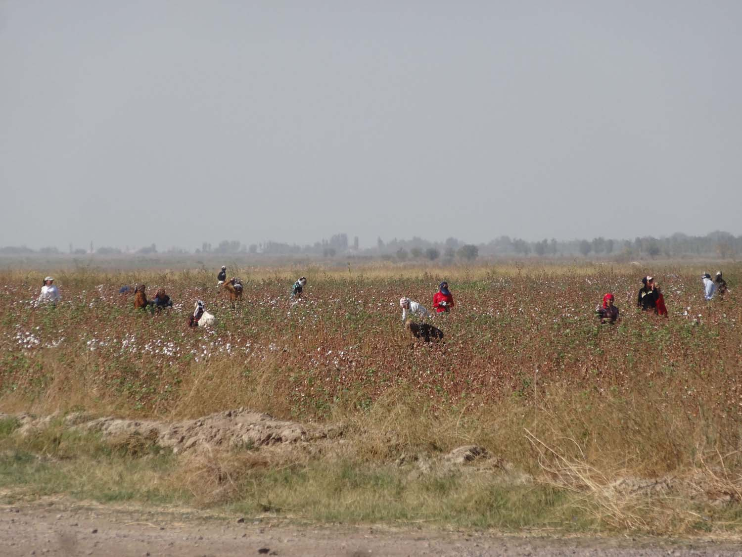 cotton pickers hard at work to reach their qouta