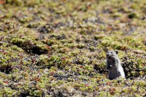 """watch out for the steppe eagle!"" this little blick's grass rat (arvicanthis blicki) yells to his mates"