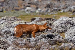 the beautiful Ethiopian wolf among the silver-grey heather