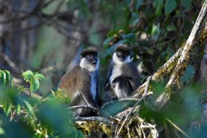 three Bale monkeys grooming, check out their super funky moustache - just like Salvador Dali