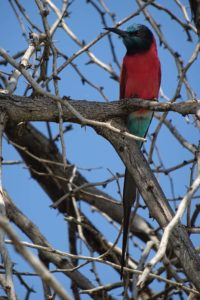 the beautiful northern carmine bee-eater