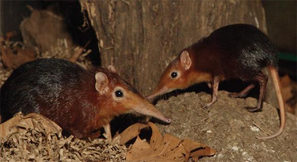 elephant shrews (not our photo)