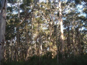 beautiful Boranup Forest in the Margaret River area