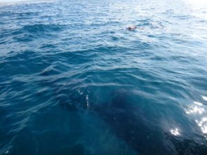 that's Jon snorkeling and the whaleshark is about to go underneath the boat