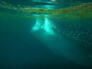 feeding whaleshark