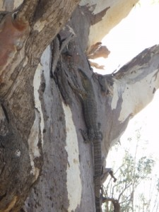 goanna up the tree in our camp site