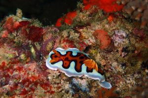 this is a goniobranchus gleniei, a nudibranch, don't you just love the vivid orange markings?