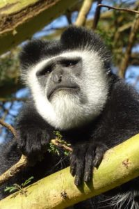grumpy looking male colobus monkey in the gardens of Elsamere