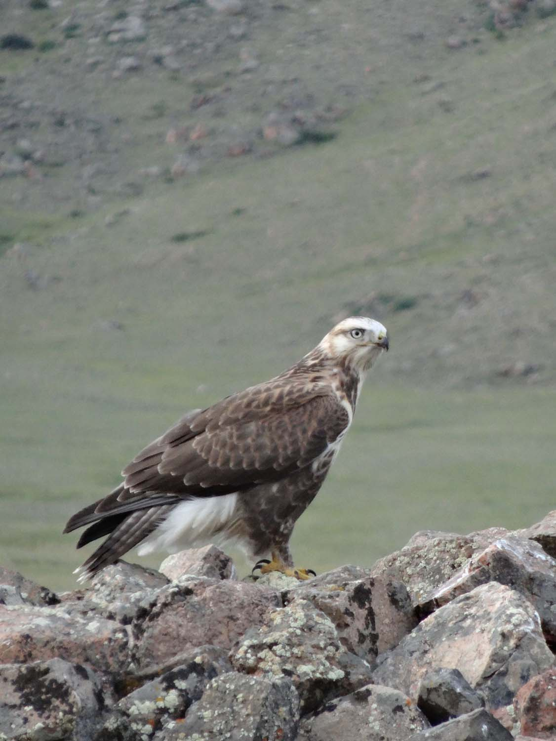 eagles, always looking for marmots or ground squirrels
