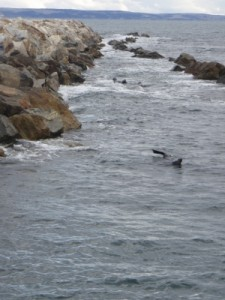 seals swimming in the ocean