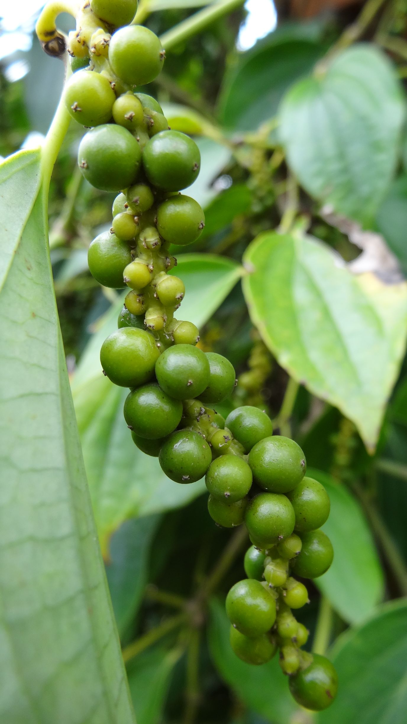 kampot pepper, the best there is apparently