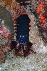 a peacock mantis shrimp, aren't the colours beautiful?