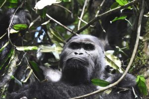 Chimanuka, the silverback of this family of eastern lowland gorillas