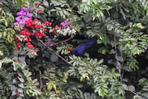 we spot the stunning Ross's turaco, a new bird for us