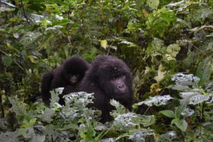 Bagamba with Bwambale on her back walk past after descending from their tree