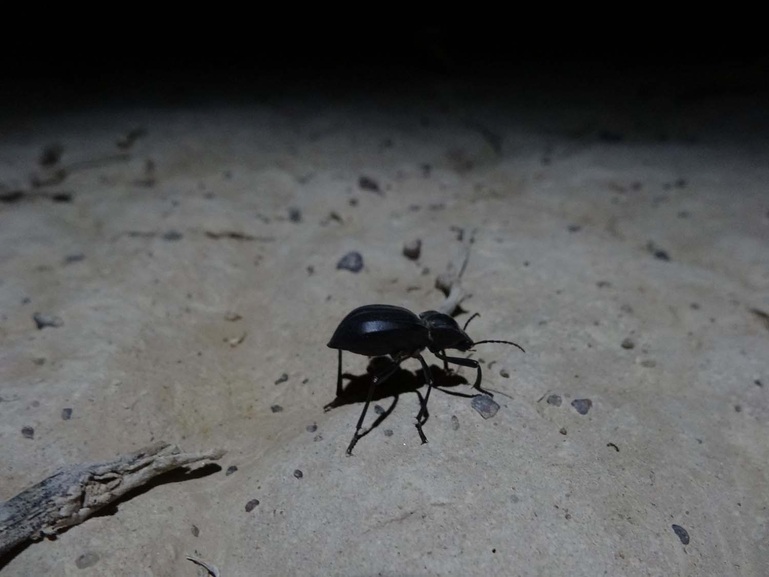 a big beetle was walking around our campsite one night in the desert