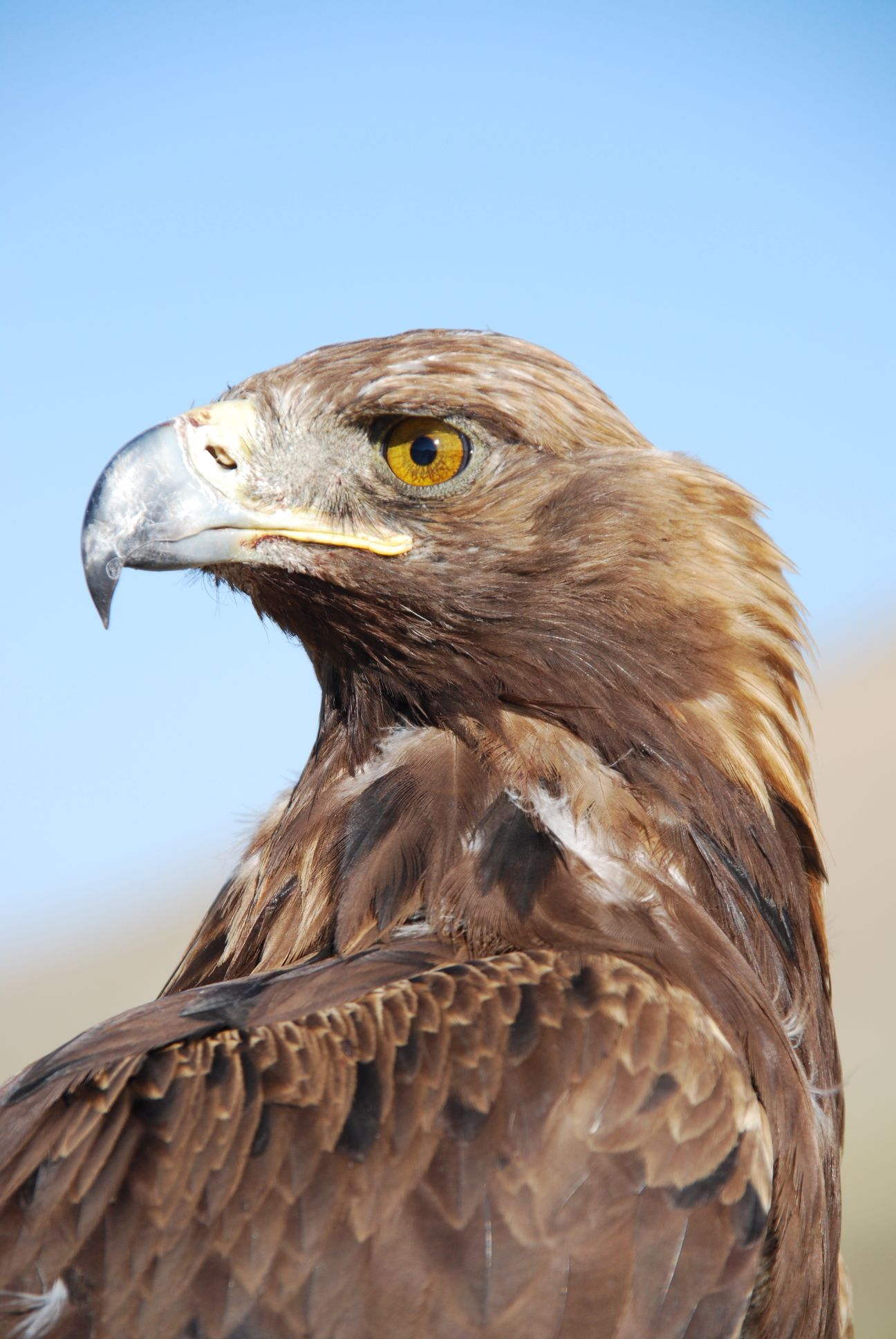 golden eagle - absolutely stunning
